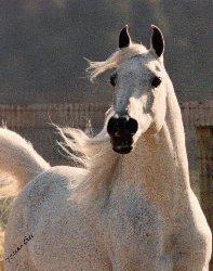 Arabian Stallion Gdansk, Winny's Sire.  Arabian Park Horse Champion