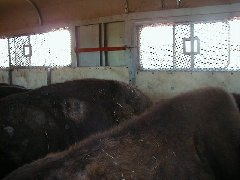 Bison loaded in the trailer; there was a lot of banging and crashing, but soon settled down.  Buffalo Capture Completed