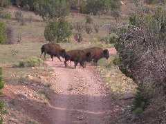 Buffalo capture adventure began with bison in the driveway