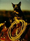 Scrapper Australian Cattledog loves riding horses; reining on Rhett, NRHA
