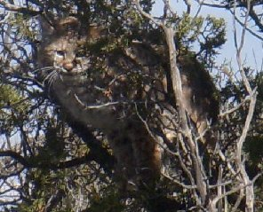 Young Bobcat Staring From Safety In The Juniper