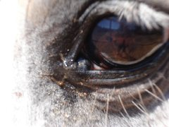 equine melanoma in horse tear duct, 13 years after first symptom
